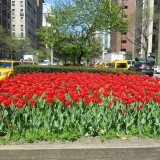 The Tulips in the middle of Park Ave. Yell Spring.