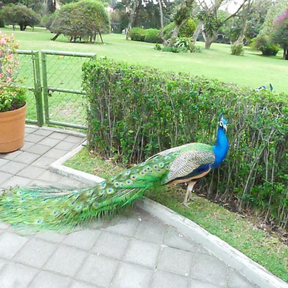 Now we may not have gotten to see the art works, but the place is crawling with peacocks.