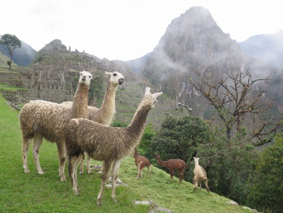 There were llamas there too.